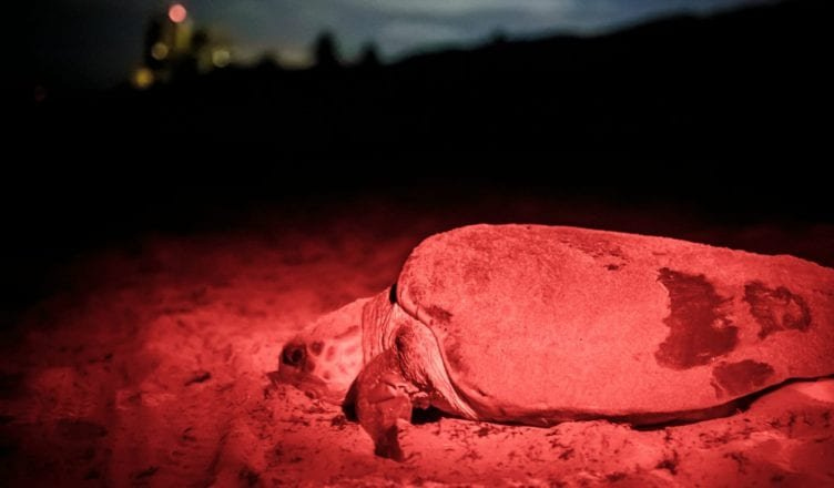 example of light pollution on sea turtle egg season